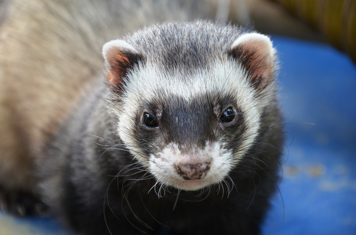 How to Care for a Ferret (Ultimate Guide) - Critter Mamas